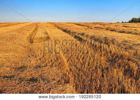 Field after harvesting wheat in the evening before sunset