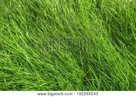 Green grass background after rain. Natural background