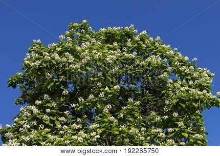 Closeup blooming Catalpa tree on the blue sky of Northern Caucasus