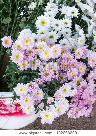 White chrysanthemum bouquet in the plastic bucket for ready to sale in the local market.