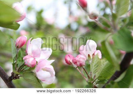 spring shoot of pink flowers of apple tree