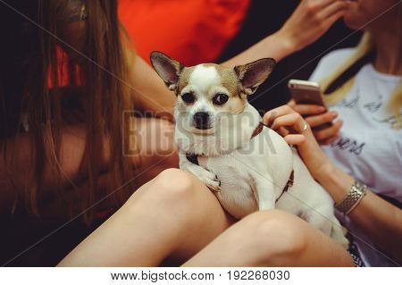 Dog Lies On The Lap Of The Mistress