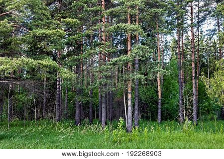 Beautiful pine forest on a spring day