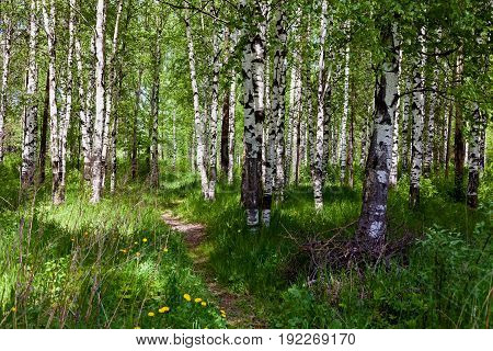 Summer landscape with a view of the forest. Birch forest. Thick greens. Sunny day.