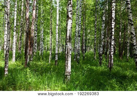 Birch forest in the summer. Sunlight through the leaves of the trees. Spring mood. Fresh air.