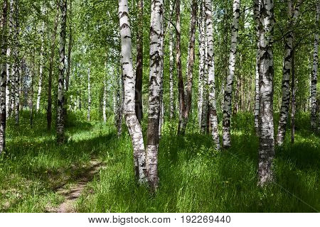Birch forest in the spring. Sunlight through the leaves of the trees. Spring mood. Fresh air.