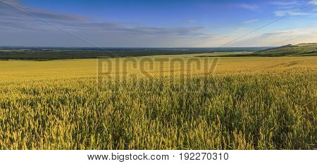 The field where is grown up a grain crop in Kuban Krasnodar Krai. The field is located on a small and lit with beams setting the Sun.