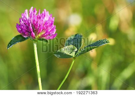 Detailed view of the clover flower on a green background