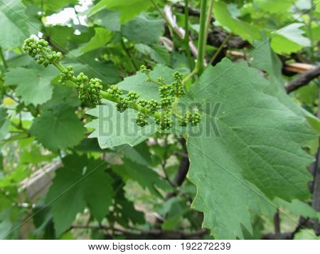 First buds on white mulberry tree ( Morus alba ) . Tuscany Italy