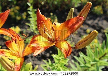 Asiatic hybrid lilium 'Cancun' orange and yellow flowers on a sunny day.
