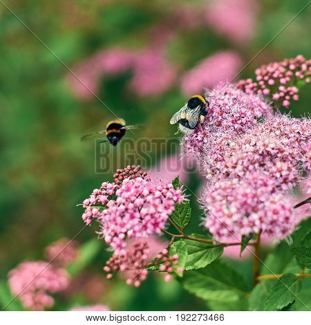 Bumblebees gathering honey on pink summer flowers