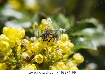 Bee collecting pollen on yellow flowers, closeup