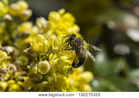 Bee collecting pollen on yellow flowers, side view