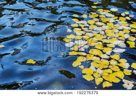 Texture of rippled dark water surface with autumn fallen yellow leaves