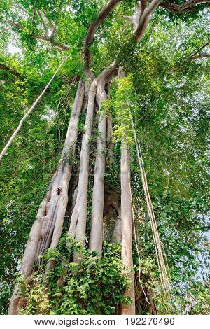 A large tree trunk of great banyan tree growing near Preah Khan Temple in Angkor Complex, Siem Reap, Cambodia.