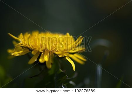 A bright, yellow dandelion blooms against a deep green background in summertime.