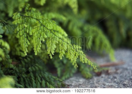Delicate maiden hair fern leaves hang above the ground in summertime.