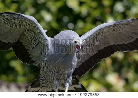 Magnificent bird of prey choking swallowing small bird. African harrier hawk gymnogene regurgitating food with wings outstretched. Remnants of prey in its beak.