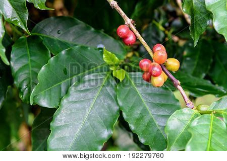 Group row colorful fruits of coffee berry ripening on a tree and drops of water after rain