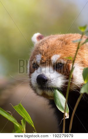 Red panda eating bamboo shoots. Cute animal image with copy space. Beautiful aesthetic nature scene. poster