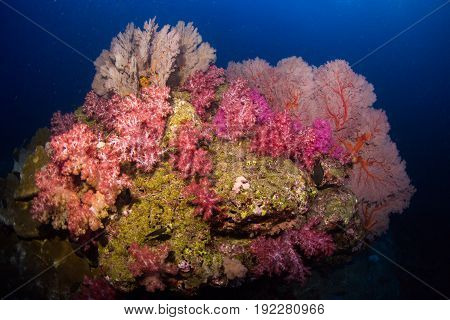 Soft coral colony and more gorgonians on the rock Similan Marine National Park Thailand