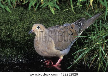 A Mourning Dove (Zenaida macroura) drinking at a small pond