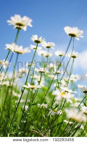 Soft White Daisies Bloom In Summer