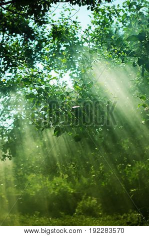 The Rays Of The Sun Permeate Through The Branches Of The Trees With Leaves
