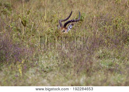 Antelope impala hiding in the grass savannah Africa