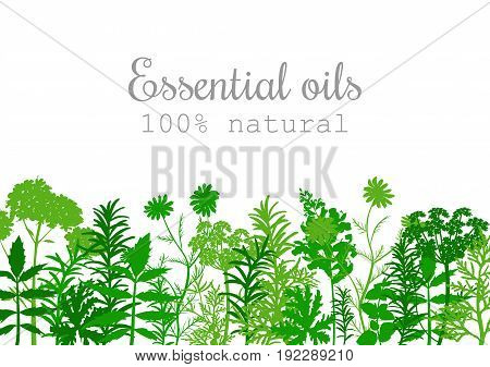 Popular essential oil plants label set in green color. Peppermint lavender sage melissa Rose Geranium Chamomile oregano etc For cosmetics spa health care aromatherapy advertising tag
