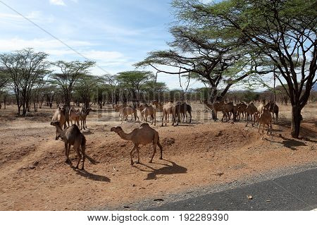 The Camels and dromedaries in north of Kenya