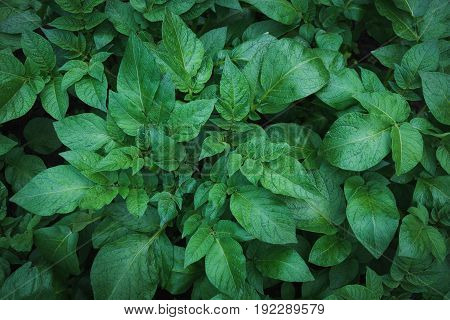 Green leafs of potato with raindrops. View from above. Nature background.