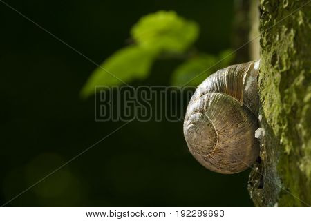 View on a climbing Snail in the Morning Light. Close-up of a Snail on a Tree.