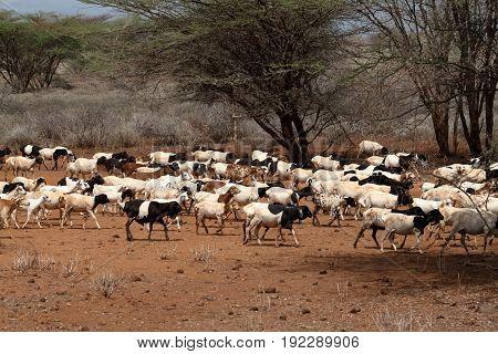 Sheep herd in the savannah in the north of Kenya