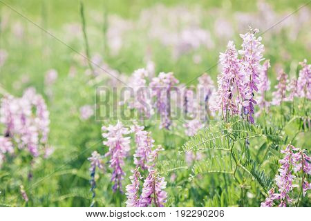 Beautiful lilac wild flowers on a sunny summer day