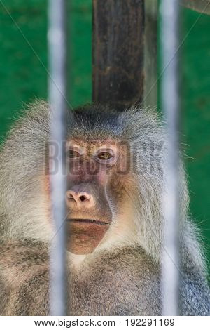 Baboon looking through the bars at the zoo