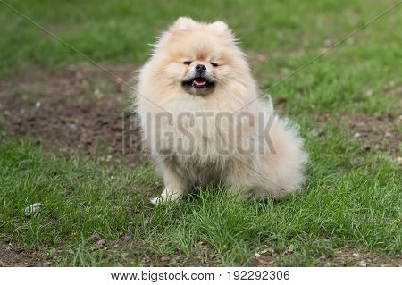 Pomeranian pomeranian beige sits contented on green grass