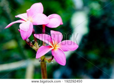 Cluster pink frangipani flowers moist with evening dew.