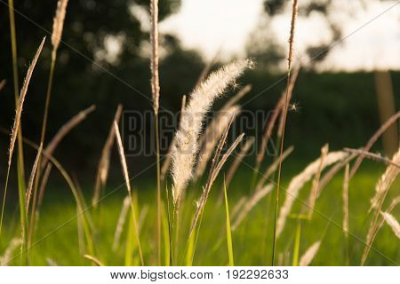 Flowering Grass At Sunrise Background...