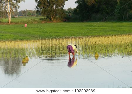 Farmers transplant rice seedlings in the paddy field