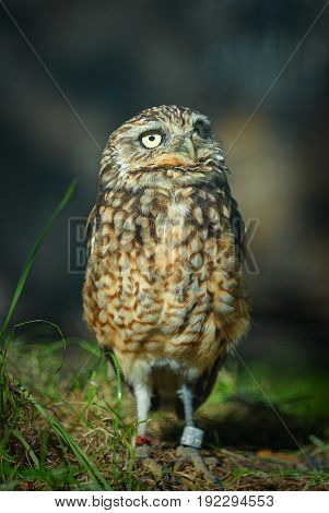 Little young owl bird of prey. Famous wild raptor animals. Small gray yellow owl in Berlin zoo. Funny animals