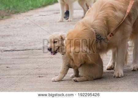 Dog Golden