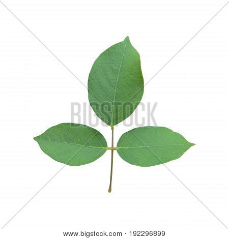 Green leaf isolated on white background .