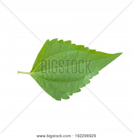 Bitter bush Siam weed isolated on white