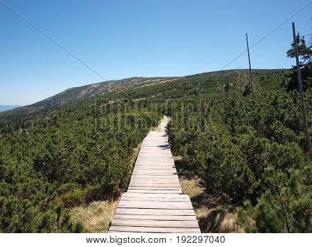Wooden walking path amoung young pine tree