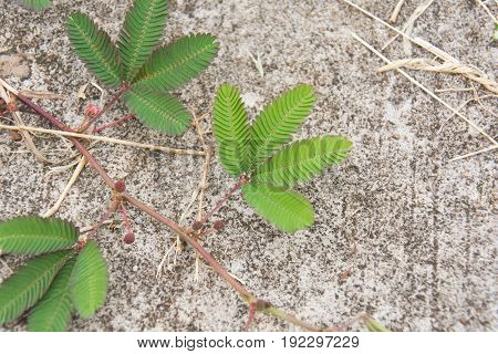 Sensitive plant or mimosa pudica plant on the ground.