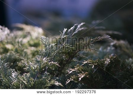 Juniper branches are lit by the morning light in late winter.