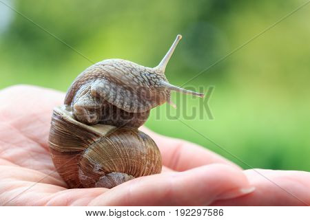 A snail, Helix Pomatia, on women's hand