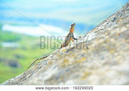 beautiful lizard seeting on the rock, cliff