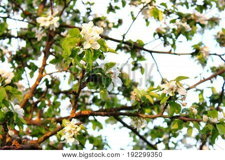 The Apple trees are blooming on sky background. Sun shines through the leaves. Spring flowers blooming. Apple tree in spring. Apple tree in bloom. Apple blossoms